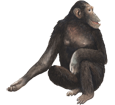 Chimpanzé adulte - robe 69