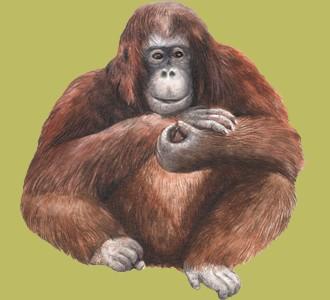 Recueillir un animal de la jungle d'espèce orang-outan