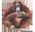 Orang-outan adulte - robe 41