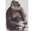 Gorille ##STADE## - robe 69