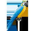 Perroquet ara bleu adulte - robe 5