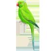 Perruche verte adulte - robe 72