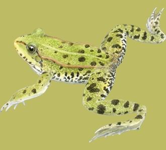 Recueillir un animal de la jungle d'espèce grenouille verte