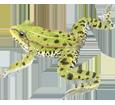 Grenouille verte adulte - robe 72