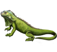 Iguane ##STADE## - robe 72