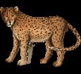 Jaguar adulte - robe 46