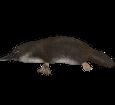 Ornithorynque adulte - robe 37