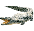 Crocodile ##STADE## - robe 66
