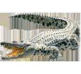 Crocodile adulte - robe 66